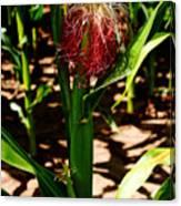 Corn On The Cob Canvas Print