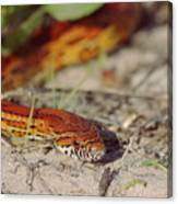 Corn Snake 2 Canvas Print