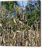 Corn Stalks Drying Canvas Print