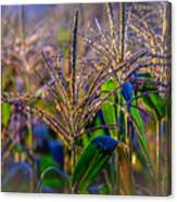 Corn Tassels Canvas Print