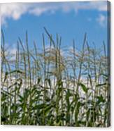 Corn Tassels In The Sky Canvas Print