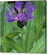 Cornflower Purple Surprise V1 Canvas Print