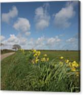 Cornish Daffodil Hedge Canvas Print