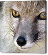 Corsac Fox- Vulpes Corsac 02 Canvas Print