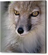 Corsac Fox- Vulpes Corsac 03 Canvas Print