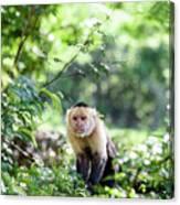 Costa Rica Capuchin Monkey II Canvas Print