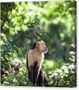 Costa Rica Capuchin Monkey Canvas Print