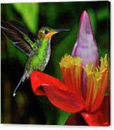 Costa Rican Hummingbird Canvas Print