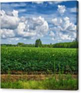 Cotton Fields Of Sc Canvas Print