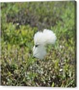 Cotton Grass -eriophorum Virginicum- Canvas Print