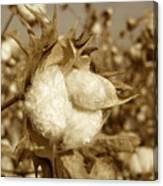 Cotton Sepia Canvas Print