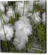 Cottongrass Canvas Print