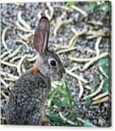 Cottontail Rabbit 4320-080917-1 Canvas Print
