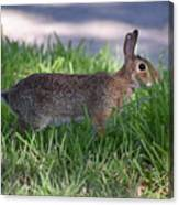 Cottontail Rabbit In My Front Yard Canvas Print