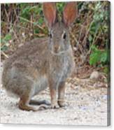 Cottontail Rabbit Surprised To Have Company Canvas Print