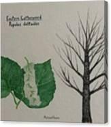 Cottonwood Tree Id Canvas Print