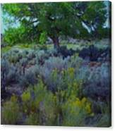 Cottonwood Tree In Old Field Canvas Print