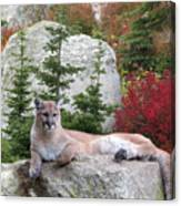 Cougar On Rock Canvas Print