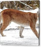 Cougar On The Prowl Canvas Print
