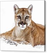 Cougar On White Canvas Print
