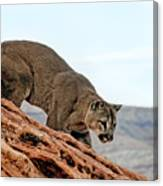 Cougar Prowling Canvas Print