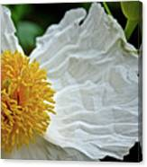 Coulter's Matilija Poppy In Rancho Santa Ana Botanic Gardens, Claremont-california  Canvas Print