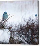 Couple Chilly Bluebirds Canvas Print