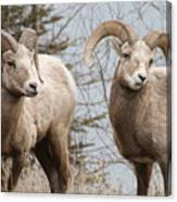 Couple Of Rams- Banff National Park Canvas Print