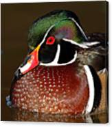 Courtship Colors Of A Wood Duck Drake Canvas Print