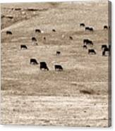 Cow Droppings Canvas Print
