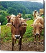 Cow Gazing  Canvas Print