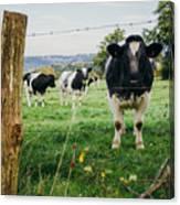 Cow Herd Canvas Print