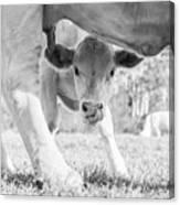 Cow Milk Canvas Print