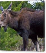 Cow Moose-signed-#4016 Canvas Print