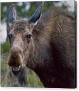 Cow Moose-signed-#4036 Canvas Print