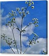 Cow Parsley Blossoms Canvas Print