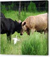 Cow Playing Head Games Canvas Print