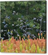 Cowbirds In Flight Over Milo Fields In Shiloh National Military Park Canvas Print
