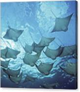 Cownose Rays Canvas Print