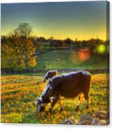 Cows And Stone Fences Canvas Print