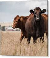 Cows In The Fall Pasture Canvas Print
