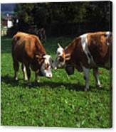 Cows Nuzzling Canvas Print