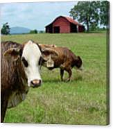 Cows8986 Canvas Print