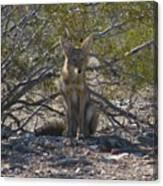Coyote 3 Canvas Print