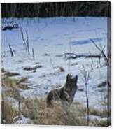 Coyote Food Hunting Canvas Print