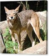 Coyote Grin Canvas Print