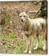 Coyote In Cades Cove Canvas Print