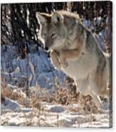 Coyote In Mid Jump Canvas Print