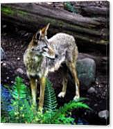 Coyote In Mid Stream Canvas Print