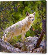 Coyote In The Rocky Mountain National Park Canvas Print